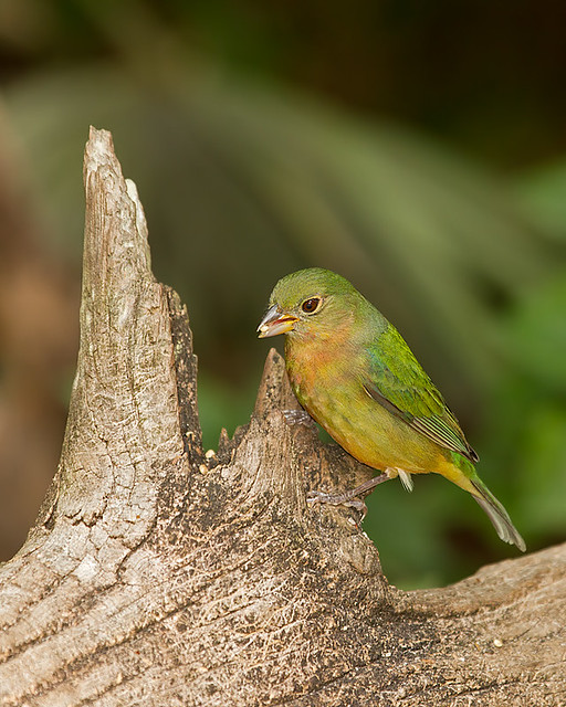 Juvenile painted bunting - photo#9