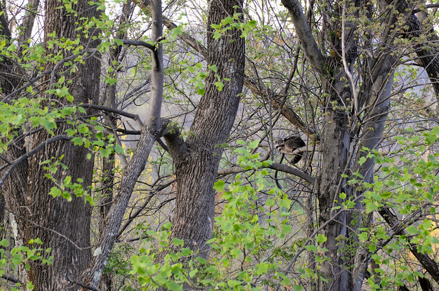 raccoon in a tree on Skyline Drive