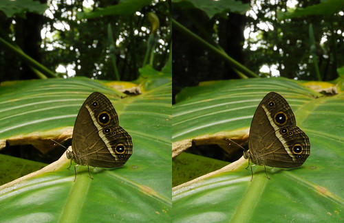 Mycalesis madjicosa, stereo parallel view