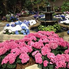 hydrangeas garden @assiniboinepark #winnipeg #manitoba #assiniboine #park