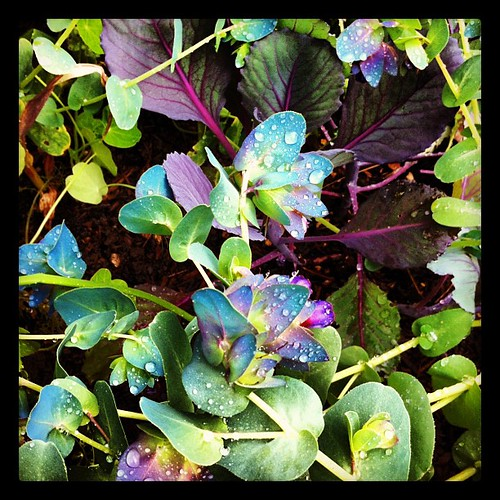Cerinthe and purple cabbage in the garden: one of my favorite combinations