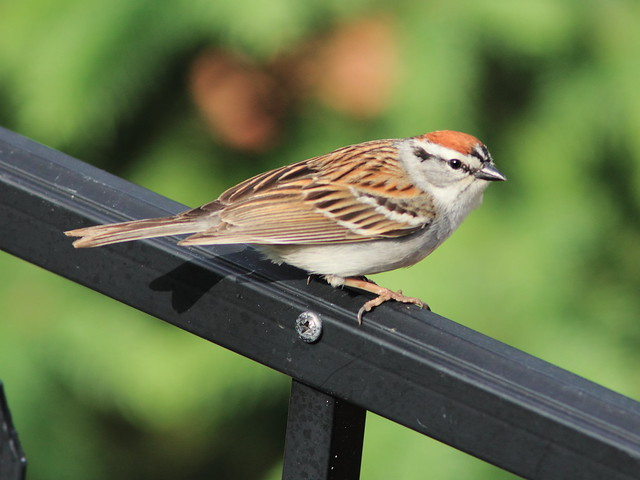 Chipping Sparrow 4-20120509