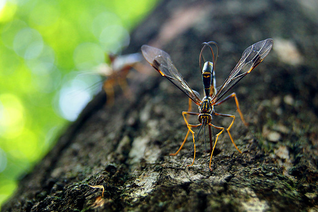 giant ichneumon wasp, Megarhyssa macrurus,  giant hornet giant ichneumon wasp giant black wasp giant wasp runescape giant wasp texas giant bee giant water bug giant yellow jacket, Wisconsin,