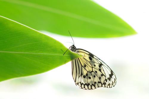 無料写真素材, 動物 , 昆虫, 蝶・チョウ, オオゴマダラ