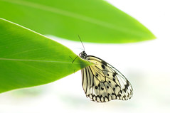 [フリー画像素材] 動物 2, 昆虫, 蝶・チョウ, オオゴマダラ ID:201205170400