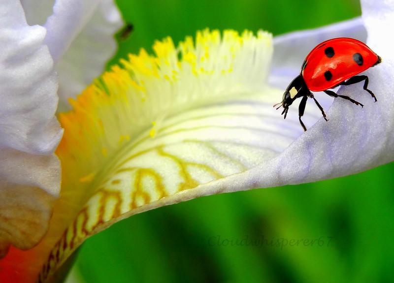 Ladybug Going Downtown