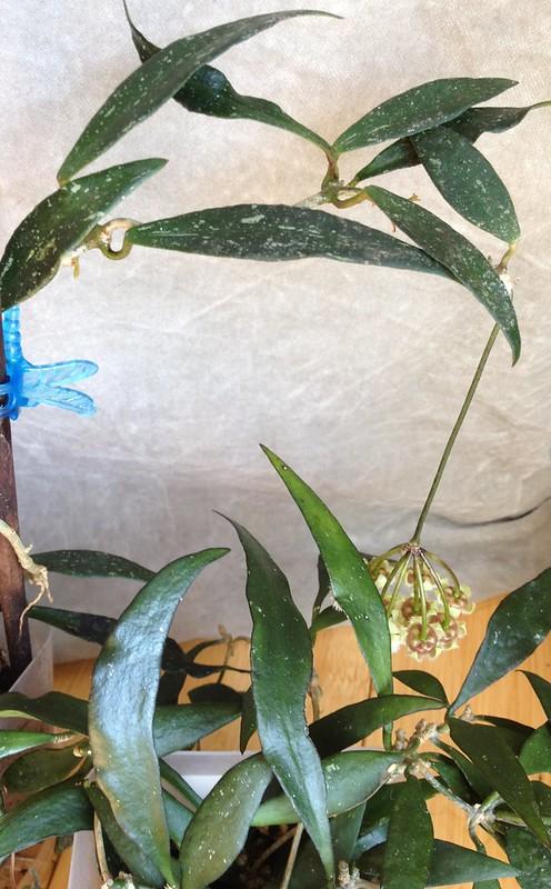 Hoya EPC-229 & parviflora