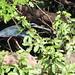 Small photo of Agami Heron (Agamia agami)