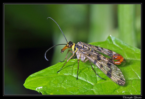Mouche scorpion (Panorpa vulgaris) mâle