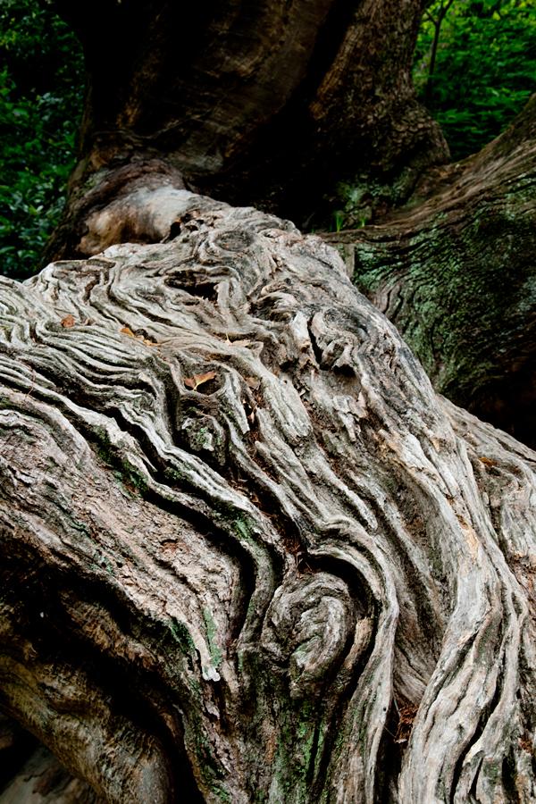 竜王さんのクス|徳島中央公園