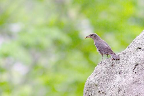 イソヒヨドリ/Monticola solitarius