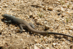 Yucca night lizard