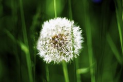 [Free Images] Flowers / Plants, Taraxacum, Seed ID:201207010600