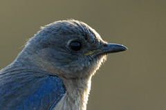 Bluebird Eye_5539.jpg by Mully410 * Images