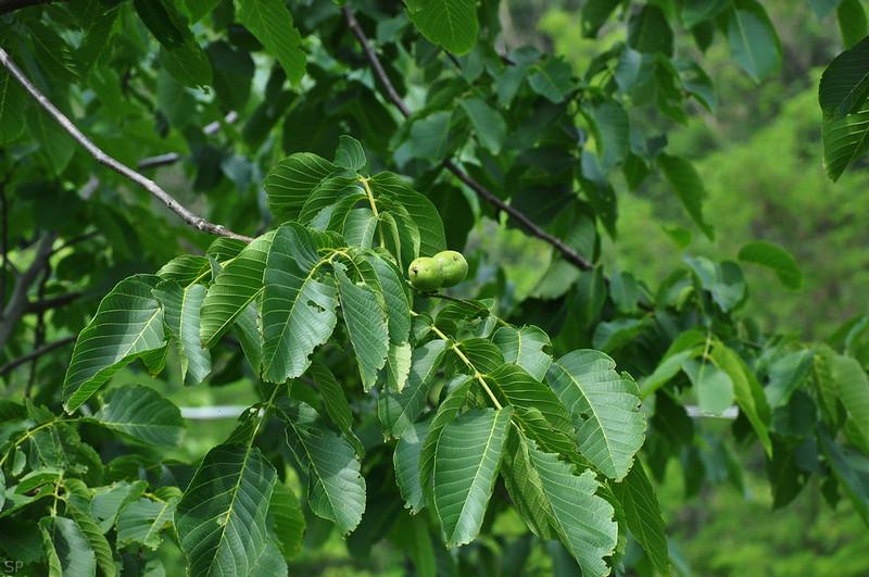 Piante Di Noce : Juglans regia noce comune da frutto bianco