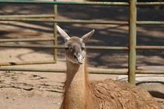 llama(0.0), animal(1.0), zoo(1.0), mammal(1.0), fauna(1.0), vicuã±a(1.0), guanaco(1.0), wildlife(1.0),
