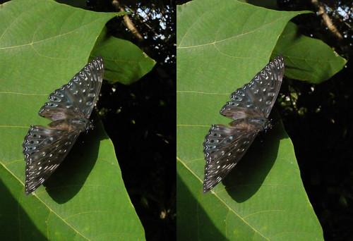 Dichorragia nesimachus, stereo parallel view