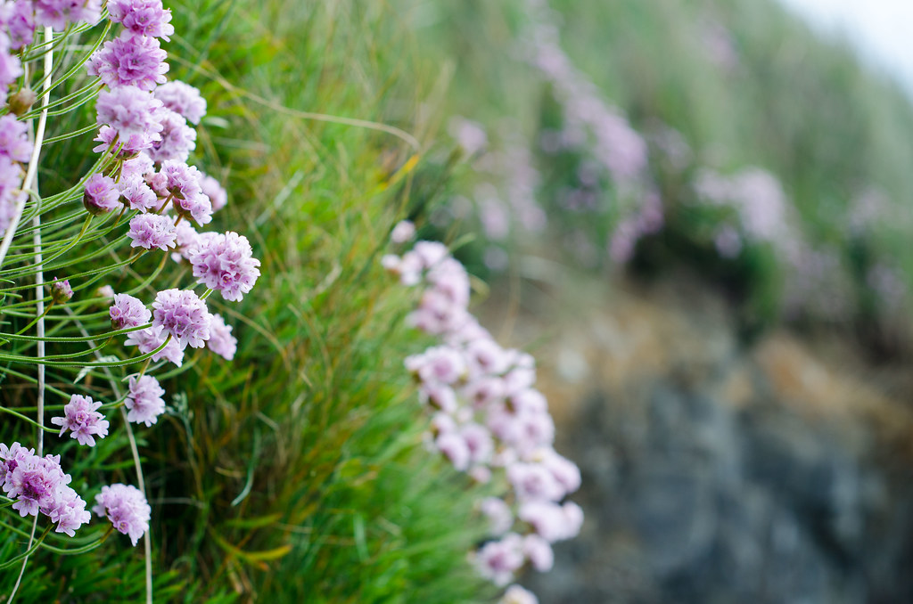 Inchydoney Sea Thrift