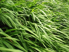 agriculture, grass, plant, welsh onion, herb, green, crop,