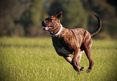 The Brindle Dog Likes To Run.