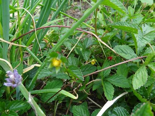 Scheinerdbeere Blüte