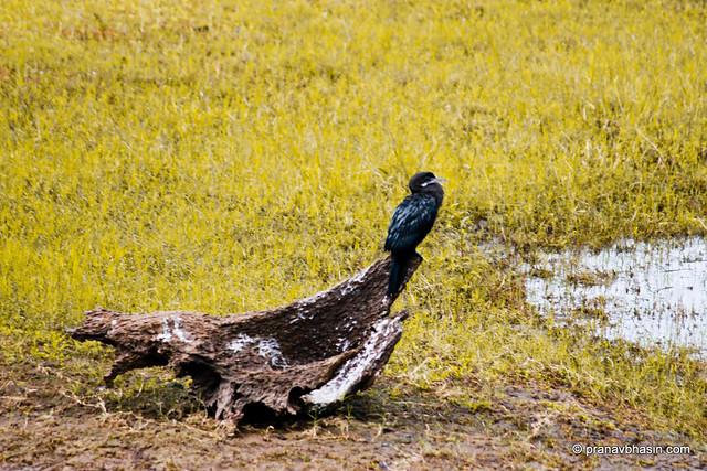 Little Cormorant (Phalacrocorax niger) At Periyar Tiger Reserve, Thekkady