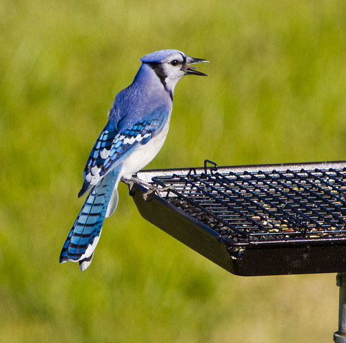 Blue Jay The Songbird by Ricky L. Jones Photography