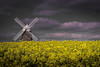 The Halnaker Windmill amonst Rapeseed- Brassica napus,Halnaker, Chichester, West Sussex, England, Uk by PANDOOZY PHOTOS