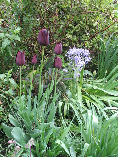 More goth tulips