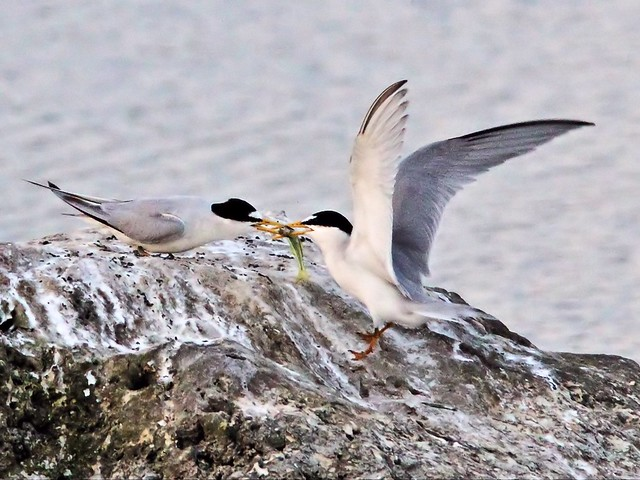 Least Tern bonded male brings fish 12- 20140428