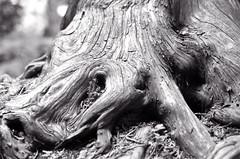 Cedar Roots Two