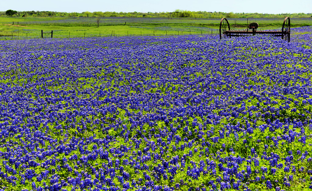 Timeless Bluebonnets