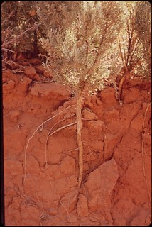 Exposed root system at eroded bank. Hovenweep National Monument, 05/1972.