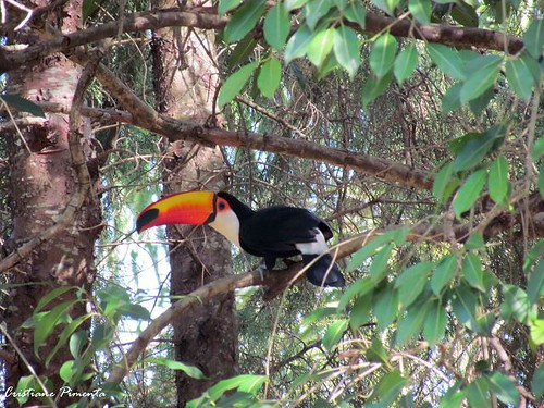 Belo tucano livre no Jardim Botânico de Bauru/SP. Haviam dois Tucanos, percebi a presença deles enquanto voavam, pareciam pinceladas de cores rasgando o céu. by crisqpimenta