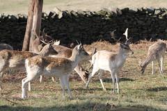 Deer at Bradgate Park_3