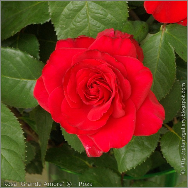 Rosa 'Grande Amore' ® - Róża