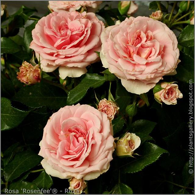 Rosa 'Rosenfee'® - Róża