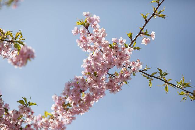 河津桜 - 葉桜
