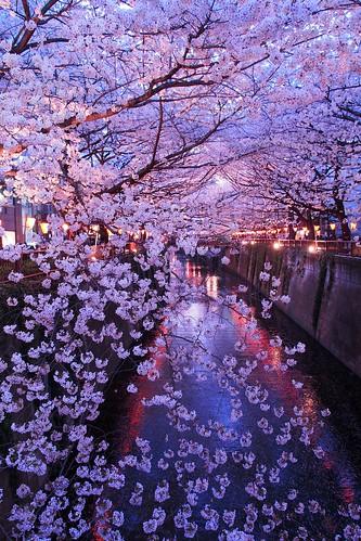 Sakura(via OlympusViewer)