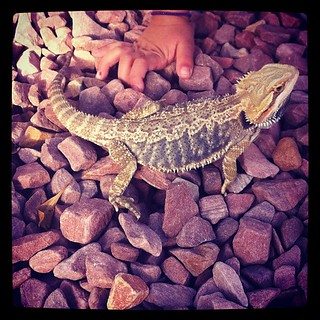 Today was Cutesy's first day outside. She didn't know what todo with herself!! #petstagram #bearded #dragon