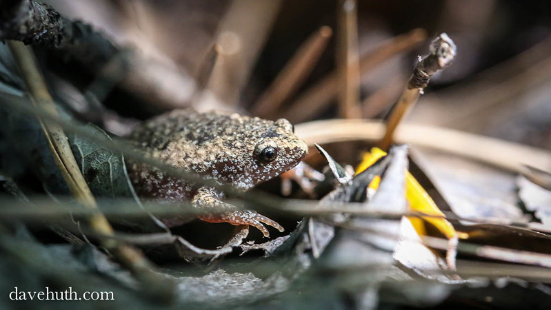 Eastern Narrowmouth Toad (Gastrophryne carolinensis) in sunlight
