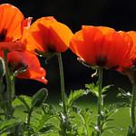 8 juin - 160/366 - Fleurs de pavot