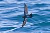 012002.1-IMG_1663 New Zealand Storm-petrel (Oceanites maorianus)