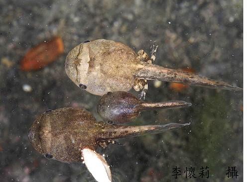 花狹口蛙蝌蚪 (照片提供:兩棲類保育網)