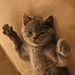 Amiru: the British Shorthair