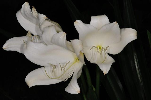 克里斯多夫百合的花朵