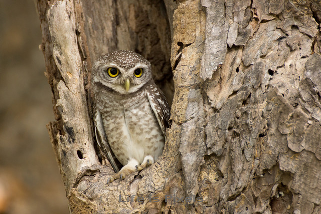 Little Owl (right angle)