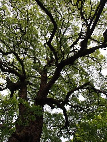 青蓮院の楠の大木