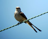 Scissor-tailed Flycatcher, Franklin Township, NJ, May 20, 2012