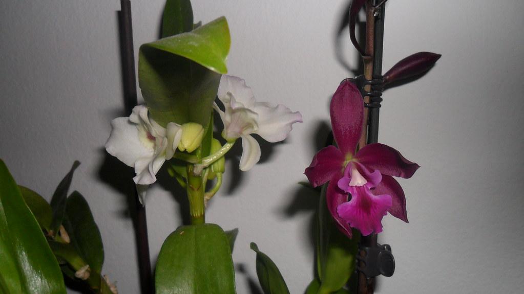 Orhideele lui Victor - Pagina 6 7306223002_40342de0c2_b